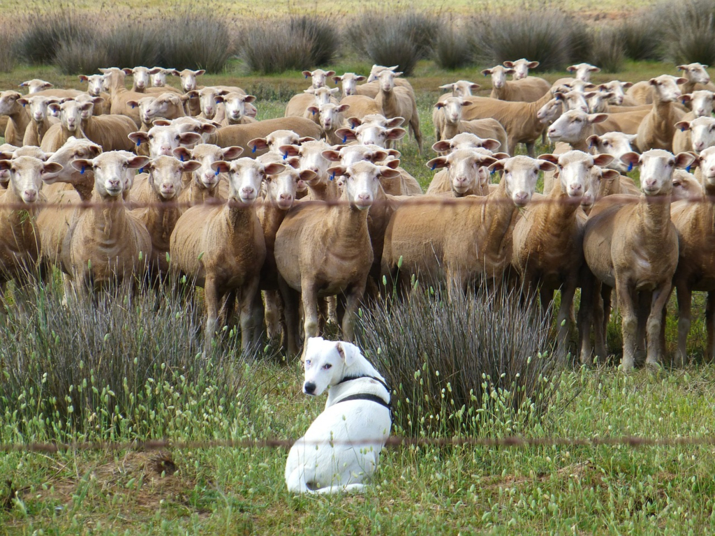 Chien troupeau mouton ovin evenement