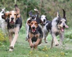 Chiens courants